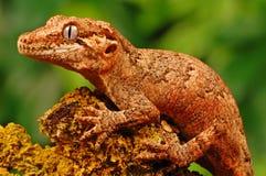 Gecko de gargouille photographie stock