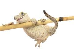 Gecko de gargouille images libres de droits