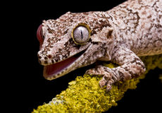 Gecko de gargouille Photo stock