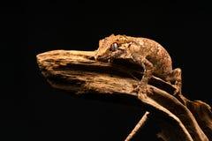 Gecko de gargouille et x28 ; Auriculatus& x29 de Rhacodactylus ; photographie stock libre de droits