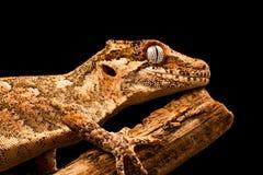 Gecko de gargouille et x28 ; Auriculatus& x29 de Rhacodactylus ; photo stock