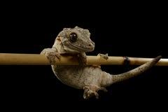 Gecko de gargouille sur le noir photographie stock libre de droits