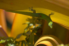 Gecko de Golddust Photographie stock