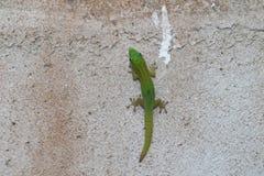 Gecko de jour de la poussière d'or - Phelsuma Laticauda image stock