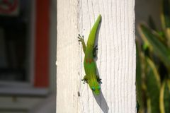 Gecko de jour de la poussière d'or sur Polonais blanc Image stock