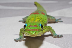 Gecko de jour de la poussière d'or tout en vous regardant photos libres de droits