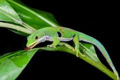 Gecko de jour de paon, quadriocellata de phelsuma images libres de droits