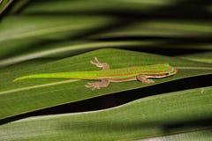 Gecko de jour des Îles Maurice sur la feuille Image libre de droits