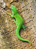 Gecko de jour du Madagascar photo libre de droits