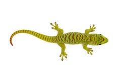 Gecko de jour du Madagascar images stock