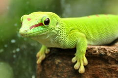 Gecko de jour du Madagascar, photo stock