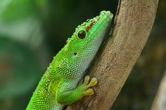 Gecko de jour du Madagascar photographie stock libre de droits