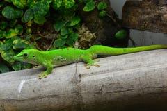 Gecko de jour du Madagascar Photos libres de droits