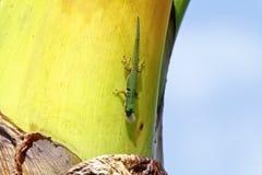 Gecko de jour du Madagascar (madagascariensis de Phelsuma) photographie stock