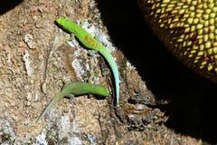 Gecko de jour du Madagascar (madagascariensis de Phelsuma) photo stock