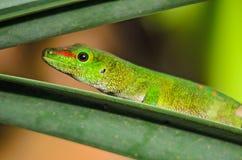 Gecko de jour du Madagascar - madagascariensis de Phelsuma photo stock