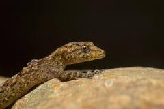 Gecko de jour du ` s de Giri, girii de Cnemaspis, Kaas, maharashtra, Inde image stock