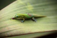 Gecko de jour de la poussière d'or alimentant sur la feuille d'usine de bromélia photographie stock
