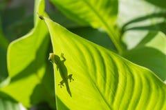 Gecko de jour de la poussière d'or faisant une pointe au-dessus de la feuille image stock
