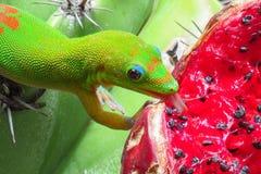 Gecko de jour de la poussière d'or léchant le fruit rouge juteux d'un cactus vert aux jardins de Moir, Kauai, Hawaï image stock