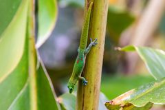 Gecko de jour de la poussière d'or s'élevant sur la pousse de paume, à l'envers, en Hawaï photographie stock libre de droits