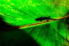 Gecko de jour de la poussière d'or sur un congé photo stock