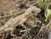 Gecko de Kotschys photographie stock libre de droits