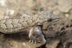 Gecko de Kotschys photographie stock