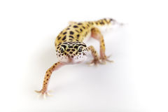 Gecko de léopard image libre de droits