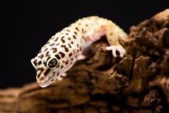 Gecko de léopard Photographie stock libre de droits