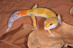 Gecko de léopard Photos libres de droits