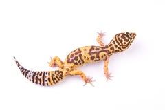 Gecko de léopard d'isolement photo libre de droits