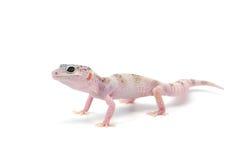 Gecko de léopard d'isolement sur le fond blanc images stock