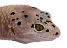 Gecko de léopard de bande de boulon albinos de Bell images stock