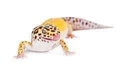 Gecko de léopard léchant des languettes photos stock