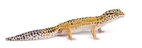 Gecko de léopard, macularius d'Eublepharis photos stock
