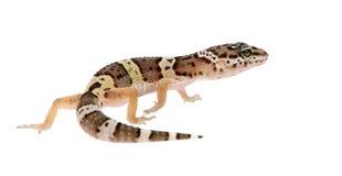 Gecko de léopard - macularius d'Eublepharis photographie stock libre de droits