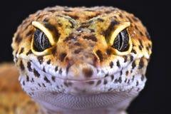 Gecko de léopard (macularius d'Eublepharis) Photographie stock