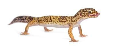 Gecko de léopard se levant images libres de droits