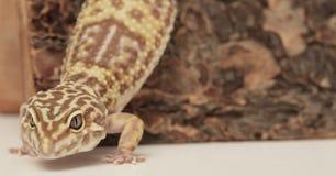 Gecko de léopard sur un logarithme naturel en bois photos libres de droits