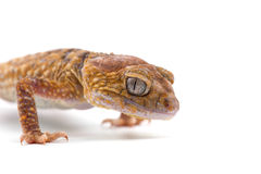 Gecko de lézard d'isolement sur le blanc image libre de droits
