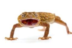 Gecko de lézard d'isolement sur le blanc images stock