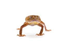 Gecko de lézard d'isolement sur le blanc photographie stock