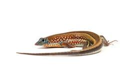 Gecko de lézard d'isolement sur le blanc photo libre de droits