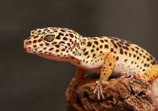 Gecko de l?opard Images libres de droits
