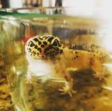 Gecko de l?opard image libre de droits