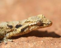 Gecko de la casa Imágenes de archivo libres de regalías