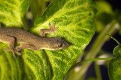 Gecko de la casa fotografía de archivo libre de regalías