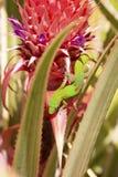 Gecko de la poussi?re d'or photos stock