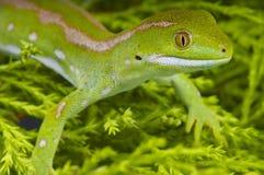 Gecko de la terre du nord/grayii verts de Naultinus image libre de droits